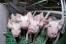Крупнейший в области  свинокомплекс «Ботово» прекратит свою работу